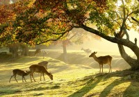 Nara Park with Deers