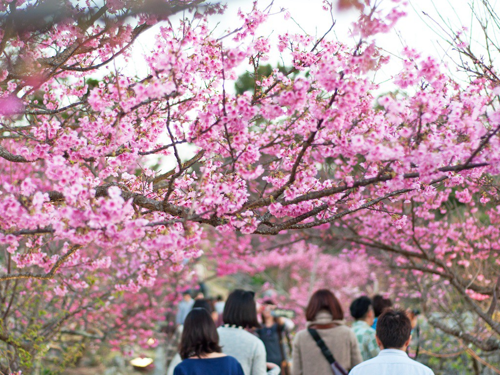 1 Day Sakura Experience in Northern Okinawa 1