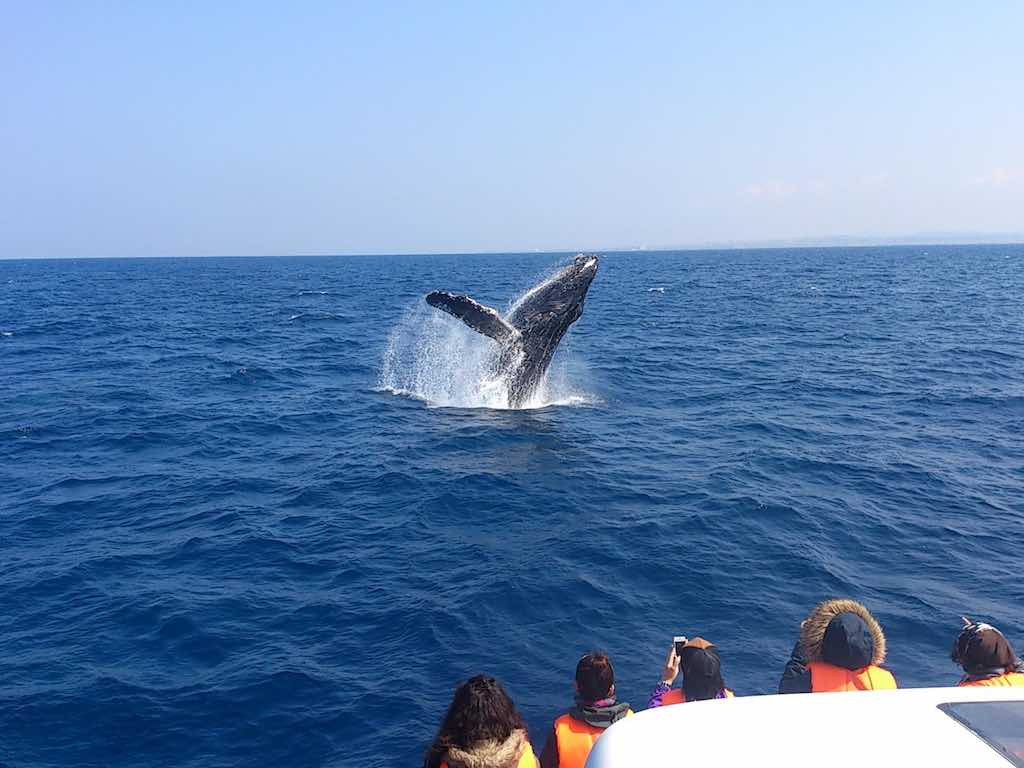 Okinawa Whale Watching in Winter 2