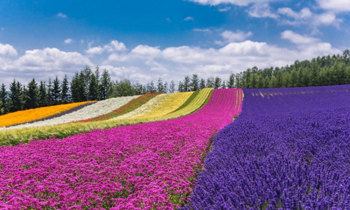 Furano & Biei Lavender and Nature Day Tour