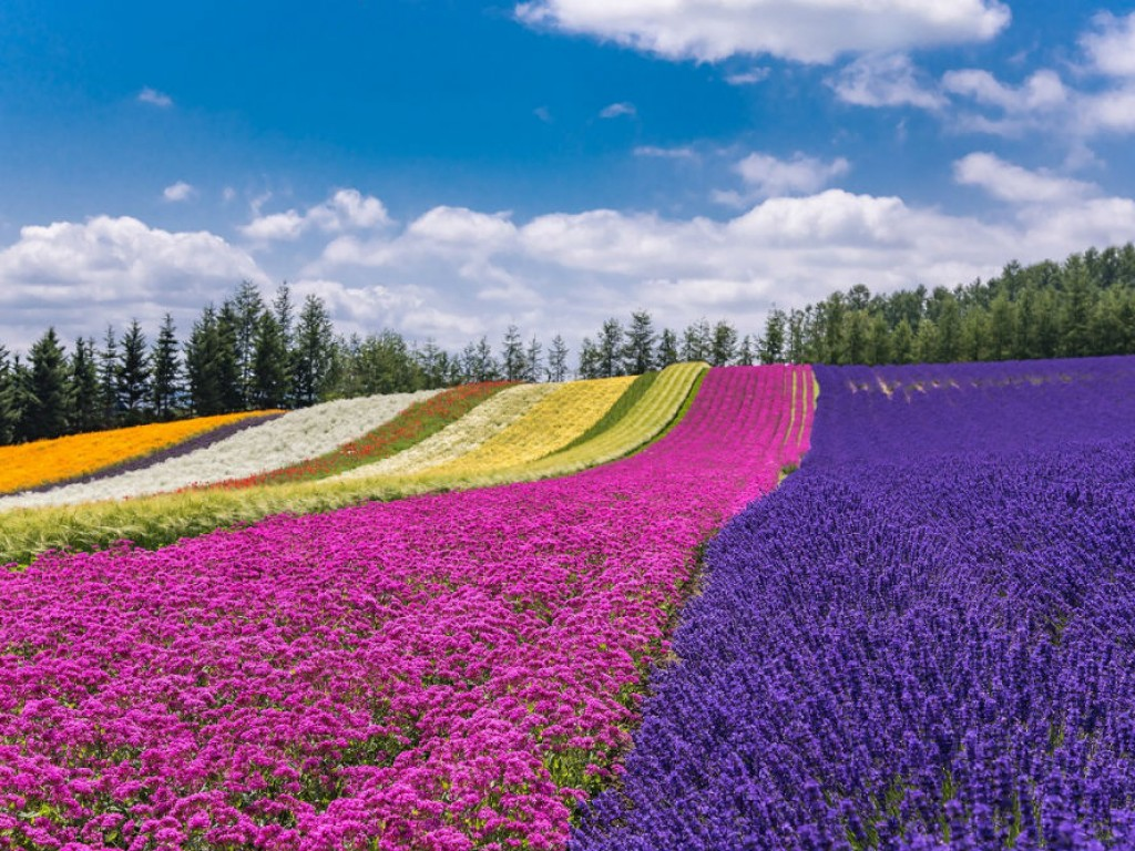 Furano & Biei Lavender and Nature Day Tour 0