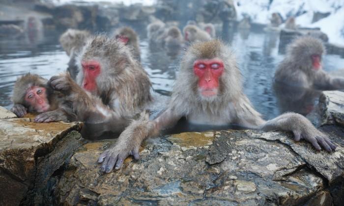 Trip Melihat Monyet Salju Mandi di Pemandian Alam