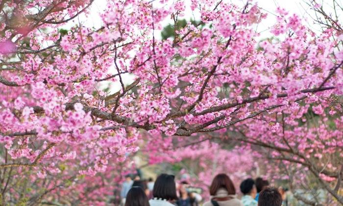 Tour 1 Hari Melihat Sakura di Utara Okinawa