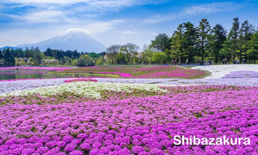 Shibazakura Festival 0